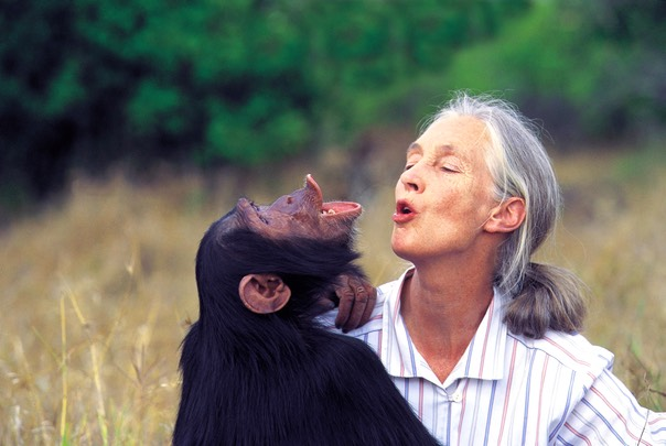 colour High Res Jane with Uruhara by Michael Neugebauer must include a disclaimer This is a sanctuary chimp. Jane Goodall does not handle wild chimpanzees